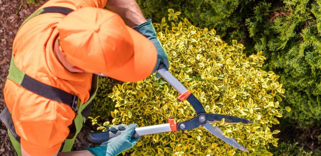 landscaper trimming shrub