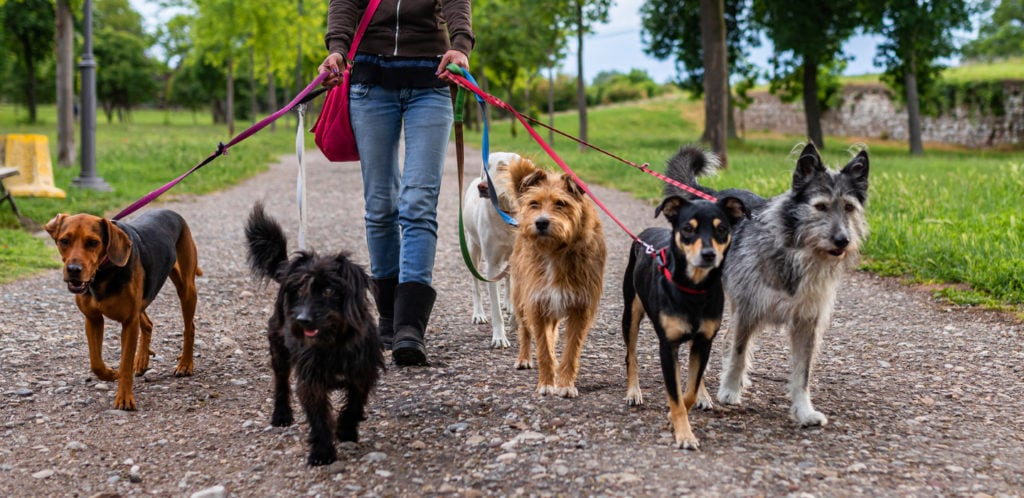 dog walker in park with dogs