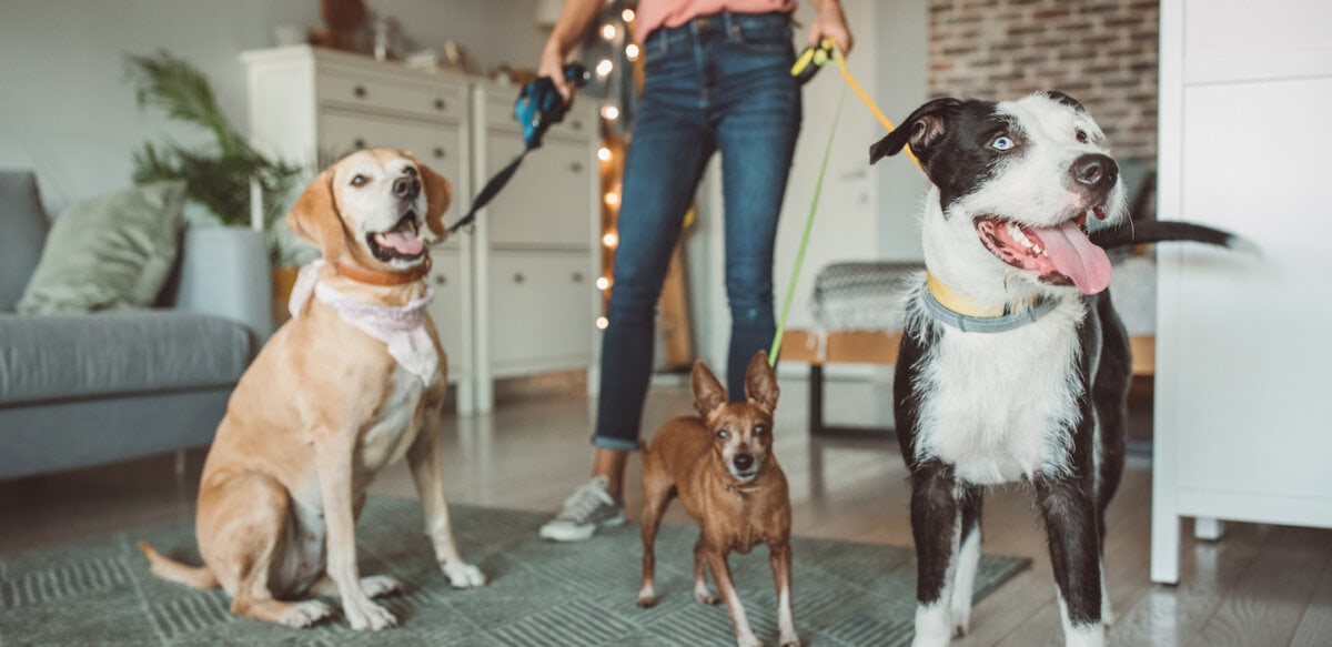 Pet sitter with 3 dogs